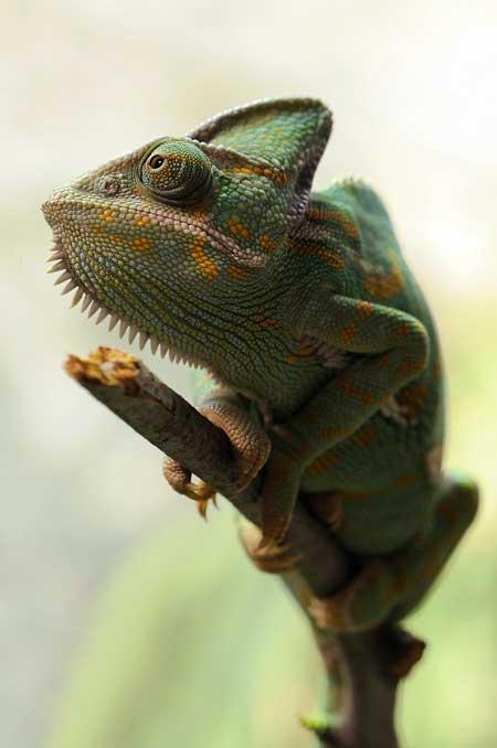 Chameleon on a twig