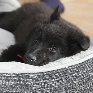Black puppy in a dog bed