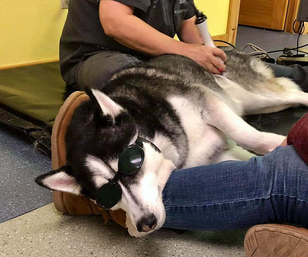 Nakota the husky receives cool laser therapy