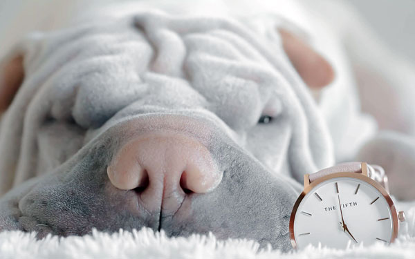 Shar Pei dog with watch