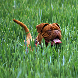 Dog walking through high green grass